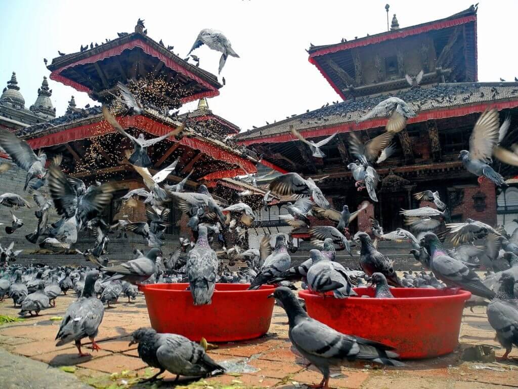 nepal piccioni pagoda
